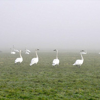 Daily Photo: Swans in the Mist