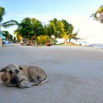 Stray dog on Caye Caulker, Belize