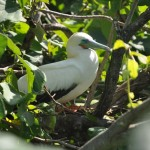 Red footed boobie on Half-Moon Caye, Belize