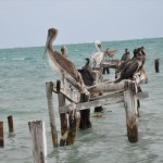 Pelicans on Caye Caulker, Belize