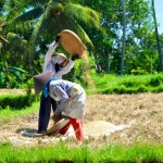 Bali Rice Paddy Workers