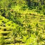 Rice Paddy near Ubud, Bali