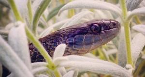Vancouver Island Garter Snake