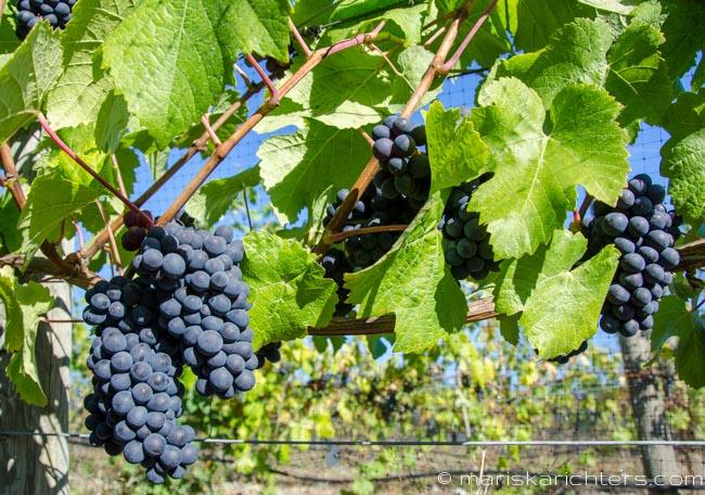 Cherry Point Vineyard