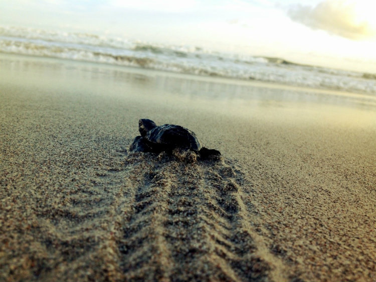 Baby Turtle in Montezuma Costa Rica