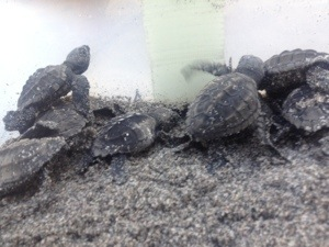 Baby turtles in Montezuma