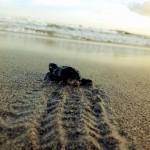 Releasing Baby Turtles in Montezuma