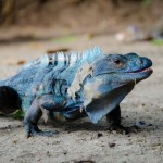 Costa Rican Iguana
