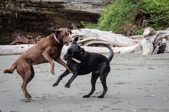 Dogs playing at China Beach on Vancouver Island